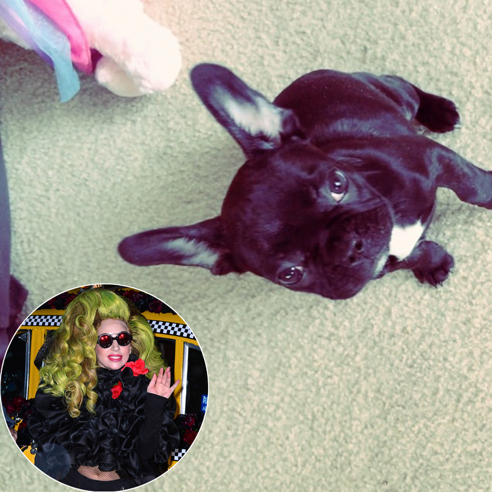 Meet Lady Gagas Adorable New Batpig Aka French Bulldog Asia